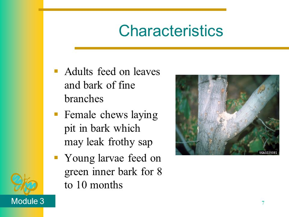 Module 3 7 Characteristics  Adults feed on leaves and bark of fine branches  Female chews laying pit in bark which may leak frothy sap  Young larva