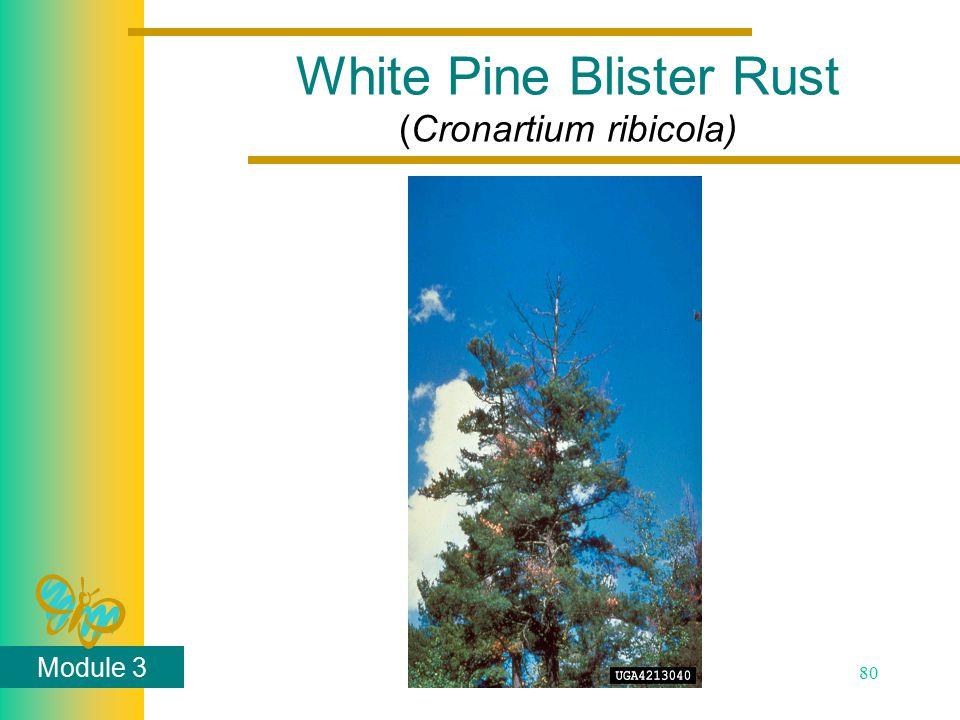 Module 3 80 White Pine Blister Rust (Cronartium ribicola)