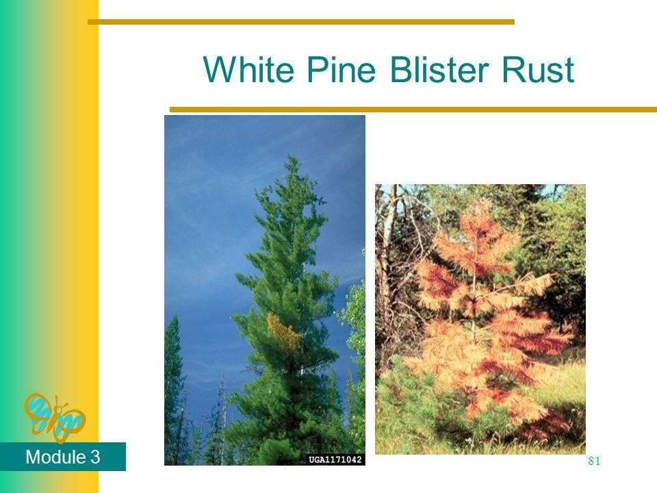 Module 3 81 White Pine Blister Rust