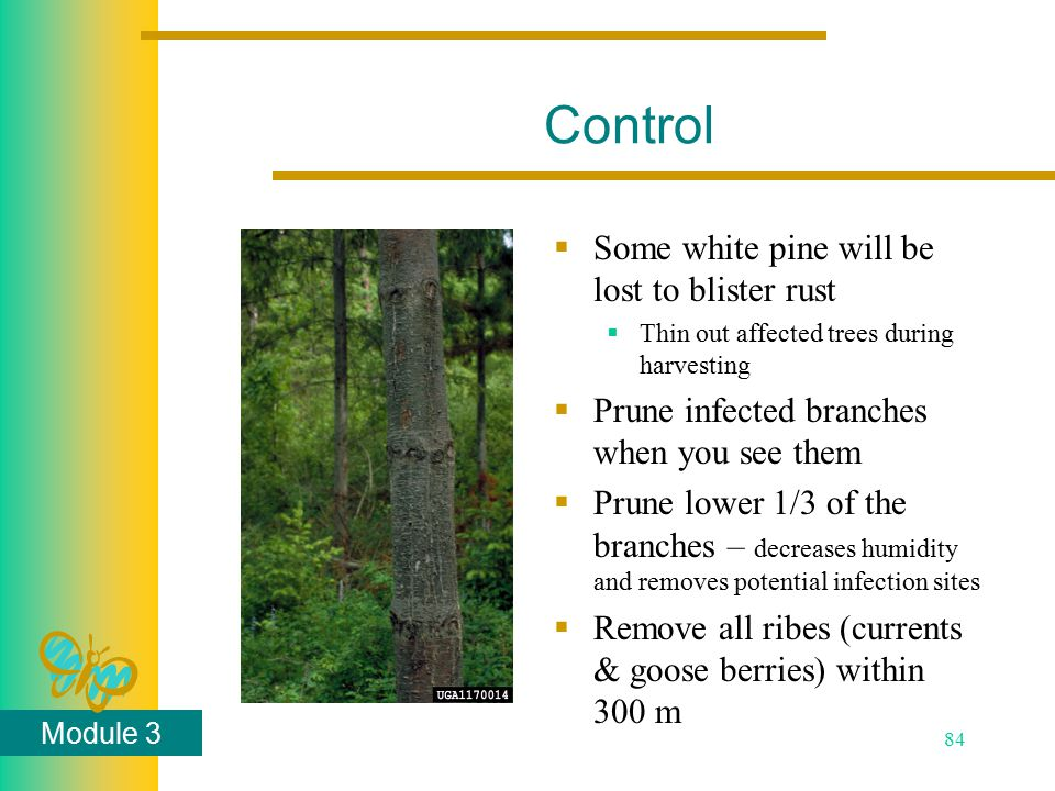 Module 3 84 Control  Some white pine will be lost to blister rust  Thin out affected trees during harvesting  Prune infected branches when you see them  Prune lower 1/3 of the branches – decreases humidity and removes potential infection sites  Remove all ribes (currents & goose berries) within 300 m