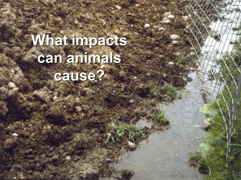 manure What parts of animals cause impacts? hooves A. Miller mouths bodies