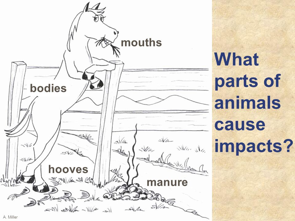 manure What parts of animals cause impacts hooves A. Miller mouths bodies