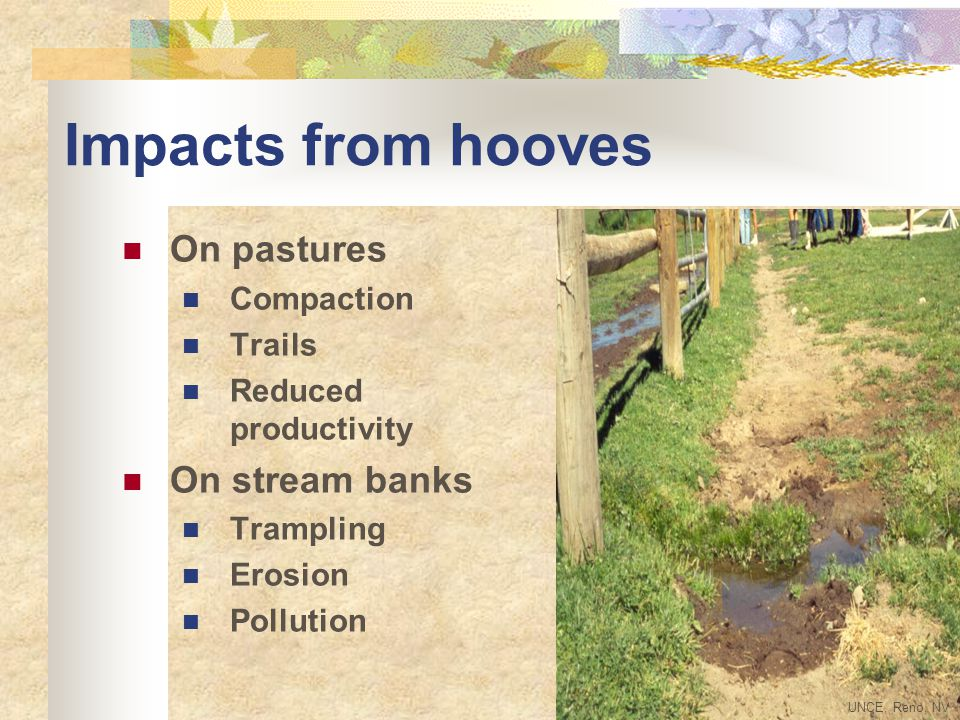 Impacts from hooves On pastures Compaction Trails Reduced productivity On stream banks Trampling Erosion Pollution UNCE, Reno, NV