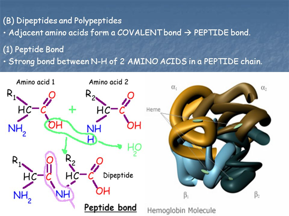 (B) Dipeptides and Polypeptides Adjacent amino acids form a COVALENT bond  PEPTIDE bond. (1) Peptide Bond Strong bond between N-H of 2 AMINO ACIDS in