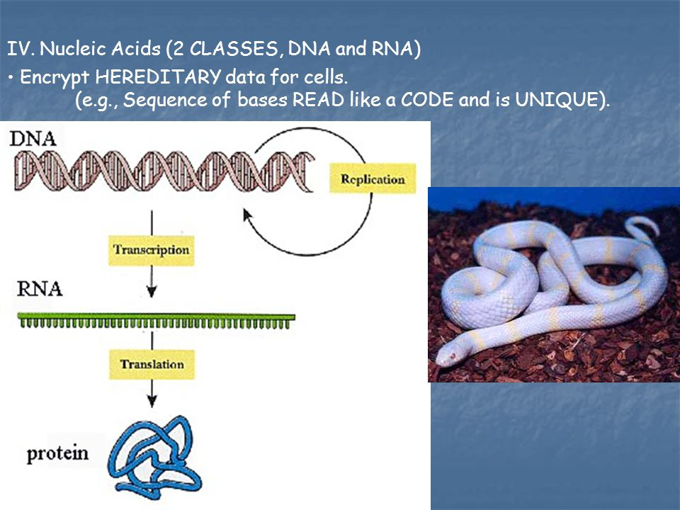 IV. Nucleic Acids (2 CLASSES, DNA and RNA) Encrypt HEREDITARY data for cells. (e.g., Sequence of bases READ like a CODE and is UNIQUE).