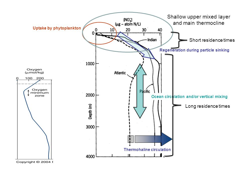 Uptake by phytoplankton Regeneration during particle sinking Thermohaline circulation Ocean circulation and/or vertical mixing Shallow upper mixed lay