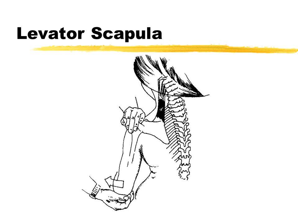 Levator Scapula