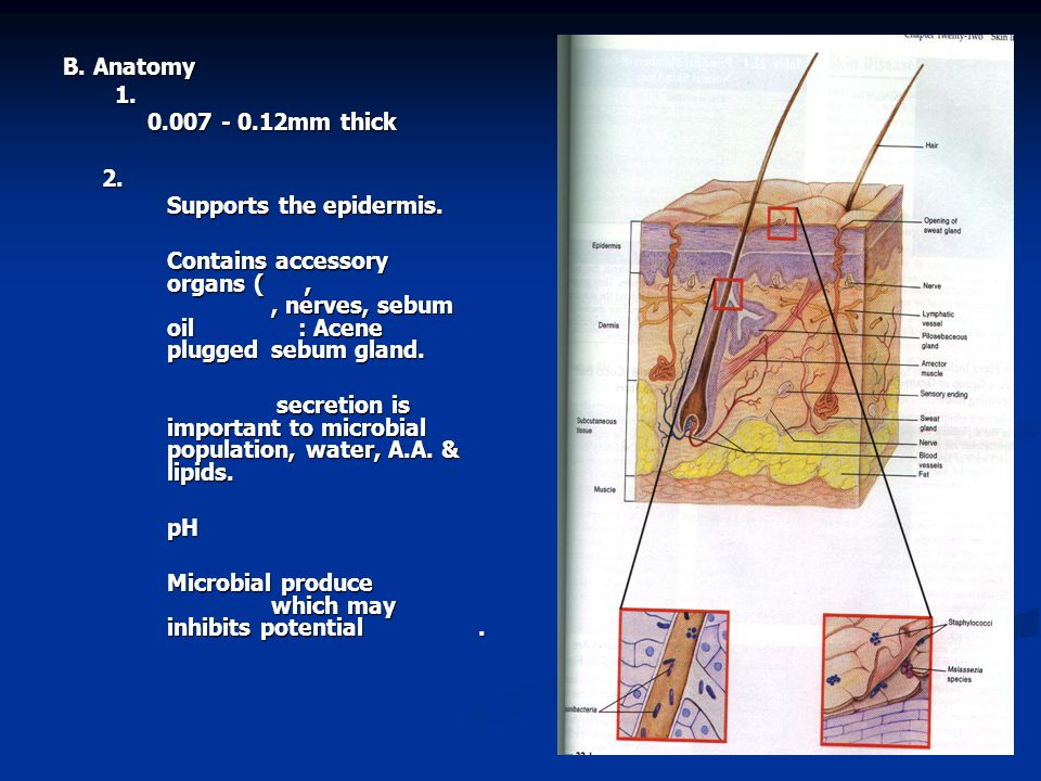 B. Anatomy 1. 0.007 - 0.12mm thick 2. Supports the epidermis.