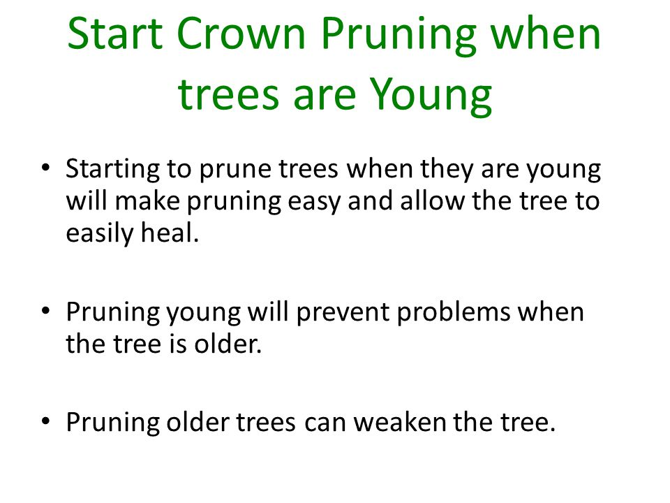 Start Crown Pruning when trees are Young Starting to prune trees when they are young will make pruning easy and allow the tree to easily heal.
