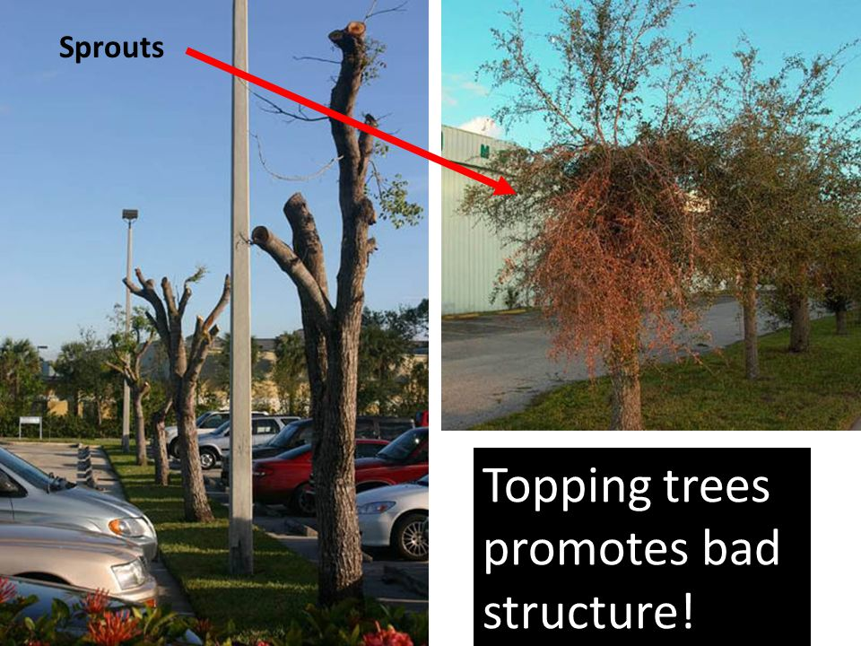 Topping trees promotes bad structure! Sprouts