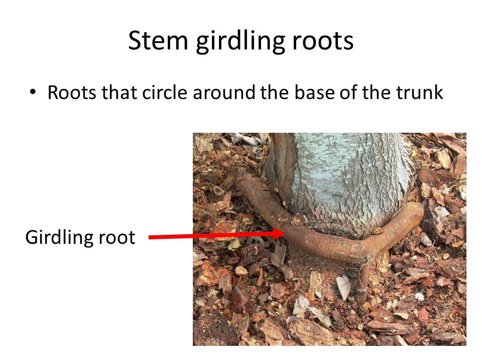 Stem girdling roots Roots that circle around the base of the trunk Girdling root