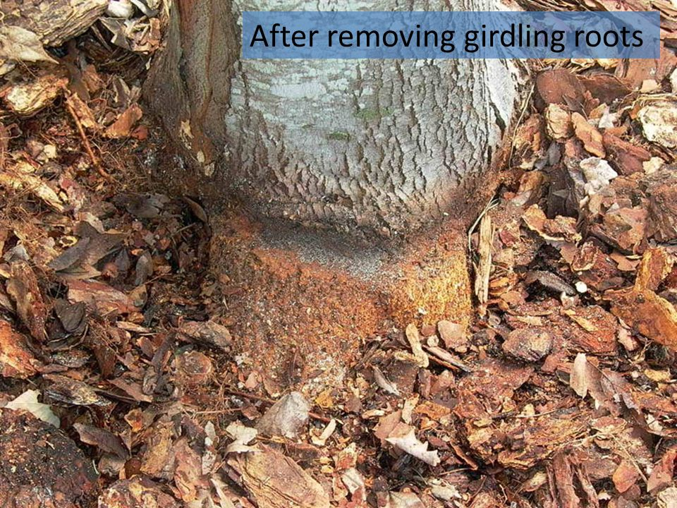 After removing girdling roots