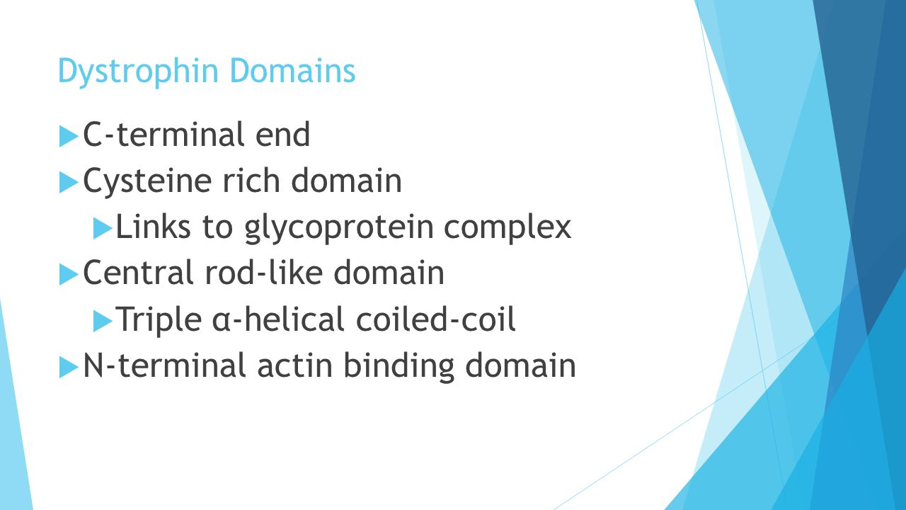 Dystrophin Domains  C-terminal end  Cysteine rich domain  Links to glycoprotein complex  Central rod-like domain  Triple α-helical coiled-coil  N-terminal actin binding domain