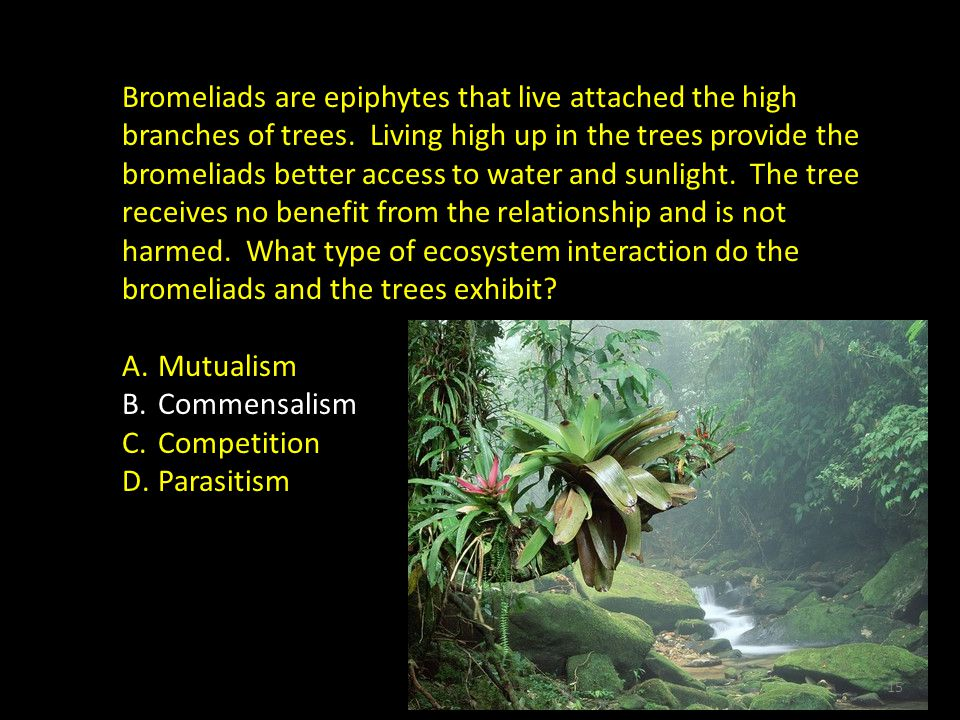 Bromeliads are epiphytes that live attached the high branches of trees.