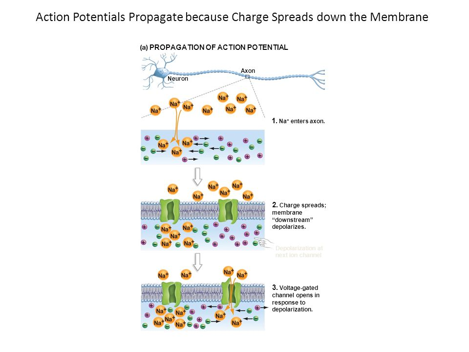 Action Potentials Propagate because Charge Spreads down the Membrane PROPAGATION OF ACTION POTENTIAL Neuron Axon 1. Na + enters axon. 2. Charge spread