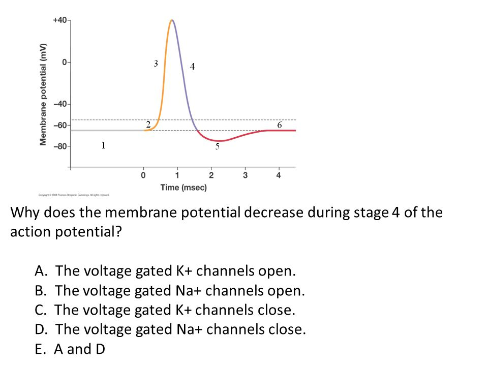 Why does the membrane potential decrease during stage 4 of the action potential? A. The voltage gated K+ channels open. B. The voltage gated Na+ chann