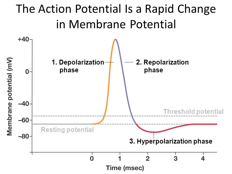 The Action Potential Is a Rapid Change in Membrane Potential 1. Depolarization phase 2. Repolarization phase 3. Hyperpolarization phase Resting potent