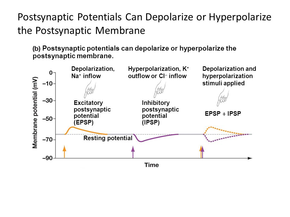 Postsynaptic Potentials Can Depolarize or Hyperpolarize the Postsynaptic Membrane Postsynaptic potentials can depolarize or hyperpolarize the postsyna