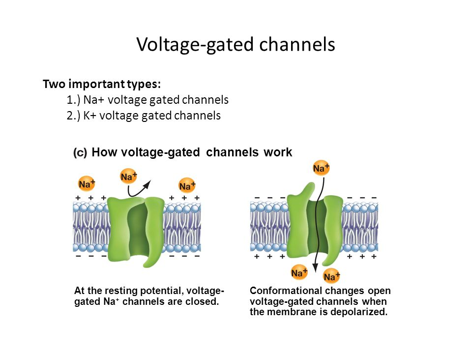 Action Potentials Propagate Quickly in Myelinated Axons Action potentials jump down axon.