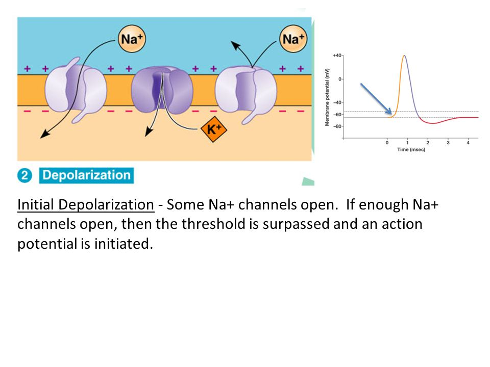 Initial Depolarization - Some Na+ channels open. If enough Na+ channels open, then the threshold is surpassed and an action potential is initiated.