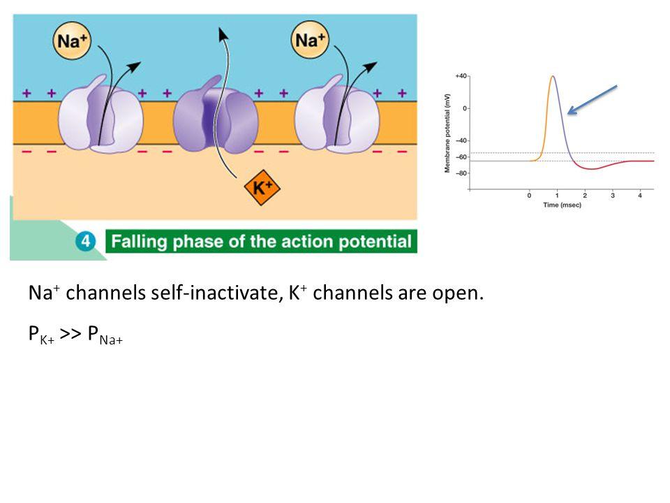 E membrane ≈ E K+ P K+ > P K+ at resting state