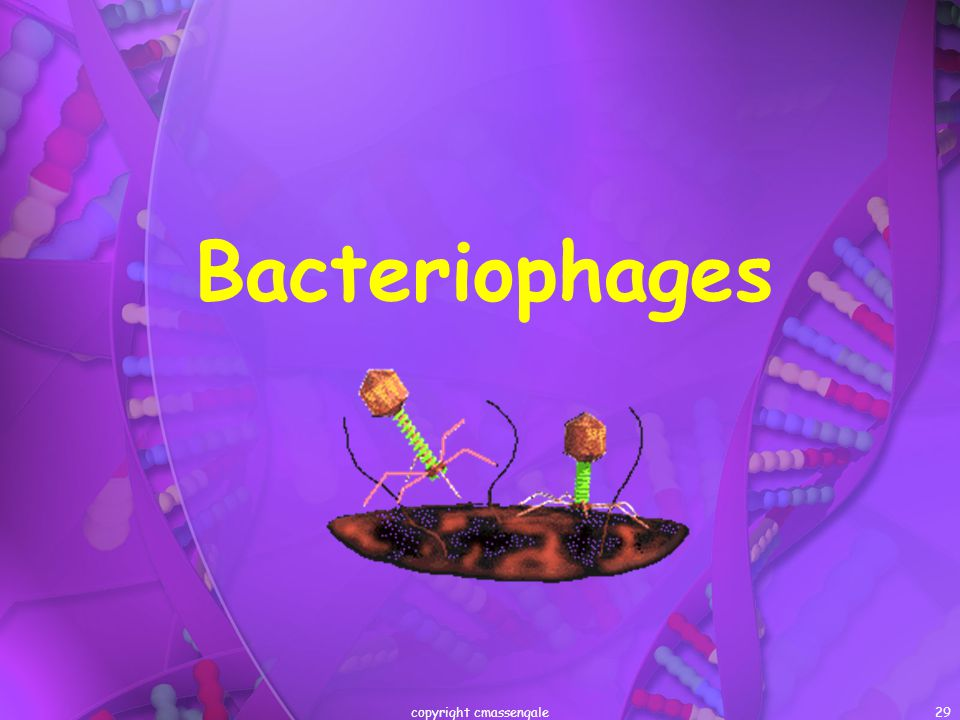 29 Bacteriophages copyright cmassengale
