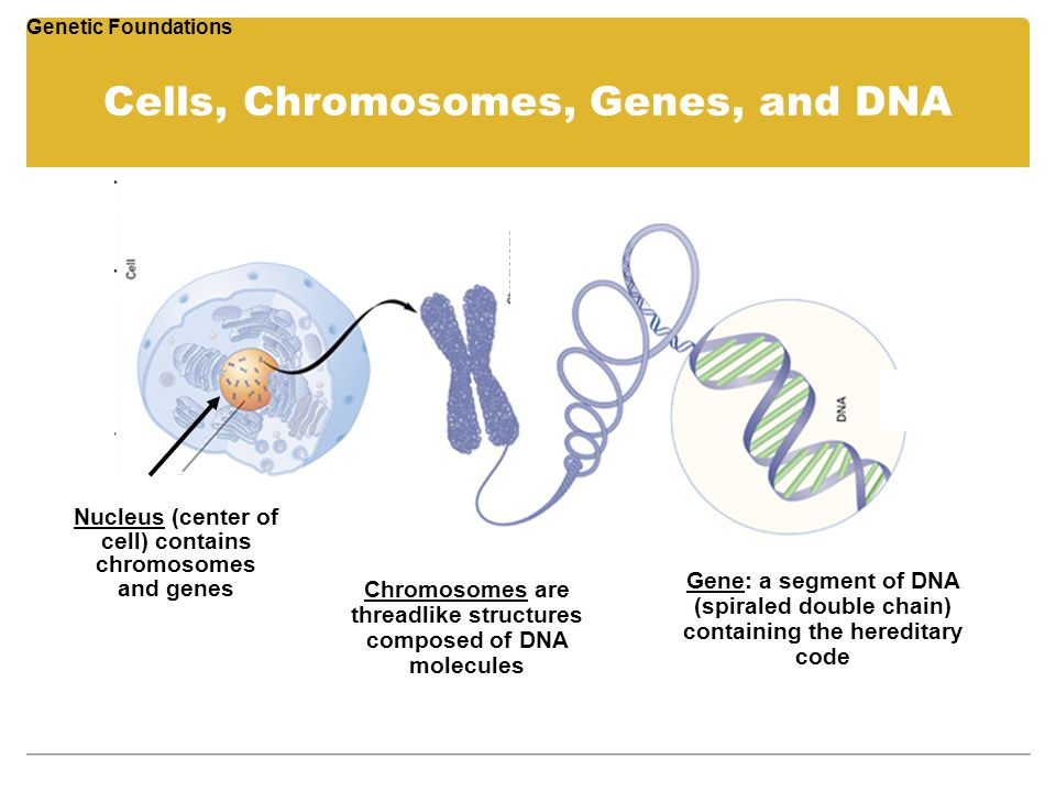 Cells, Chromosomes, Genes, and DNA Genetic Foundations Nucleus (center of cell) contains chromosomes and genes Chromosomes are threadlike structures c