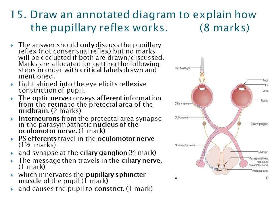  The answer should only discuss the pupillary reflex (not consensual reflex) but no marks will be deducted if both are drawn/discussed. Marks are all