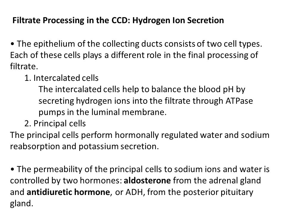 Filtrate Processing in the CCD: Hydrogen Ion Secretion The epithelium of the collecting ducts consists of two cell types. Each of these cells plays a