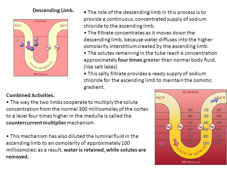 Descending Limb. The role of the descending limb in this process is to provide a continuous, concentrated supply of sodium chloride to the ascending l