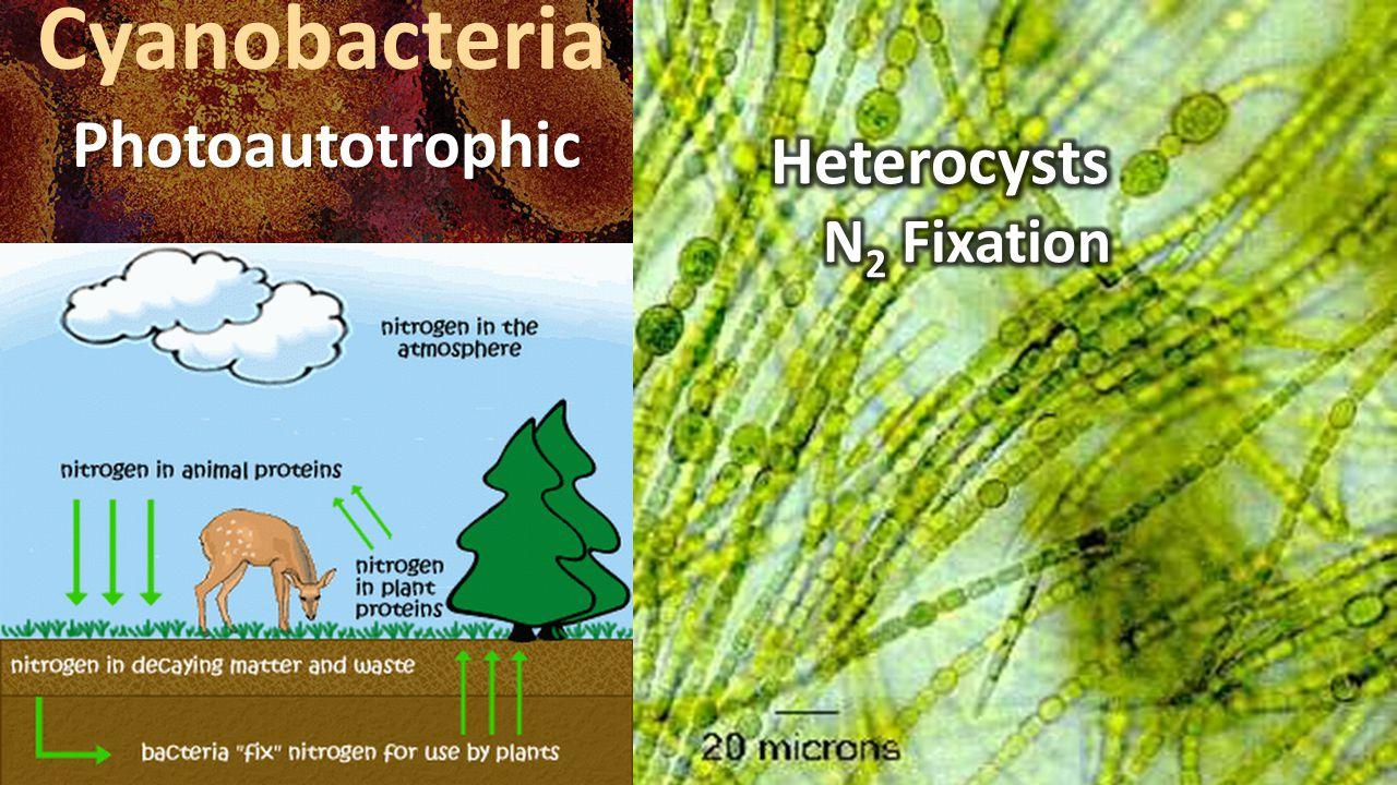Cyanobacteria Photoautotrophic