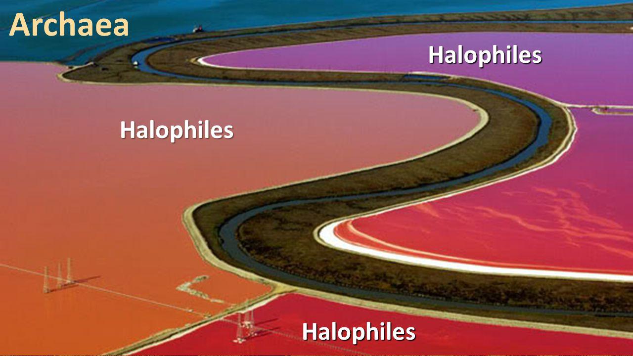 ArchaeaHalophiles Halophiles Halophiles