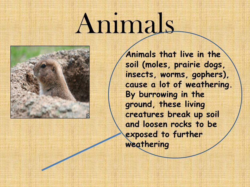 Animals Animals that live in the soil (moles, prairie dogs, insects, worms, gophers), cause a lot of weathering. By burrowing in the ground, these liv