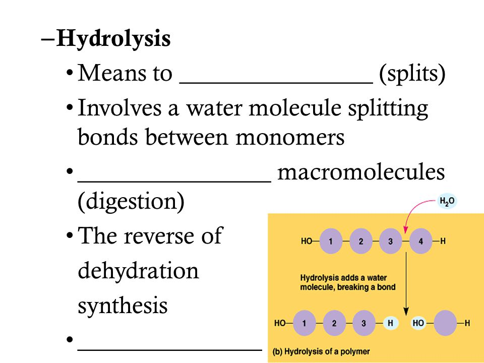 – Hydrolysis Means to ________________ (splits) Involves a water molecule splitting bonds between monomers ________________ macromolecules (digestion)