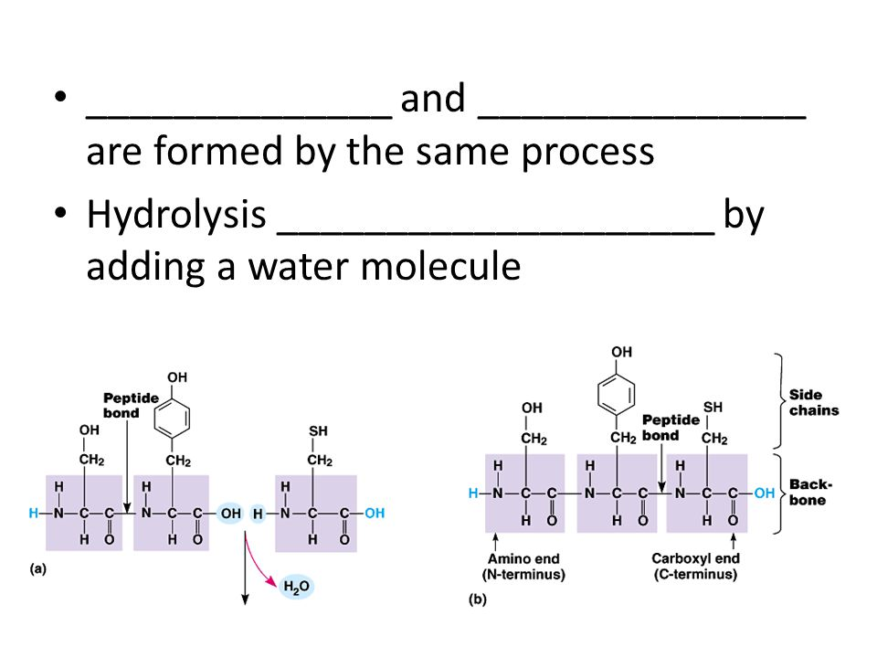 ______________ and _______________ are formed by the same process Hydrolysis ____________________ by adding a water molecule