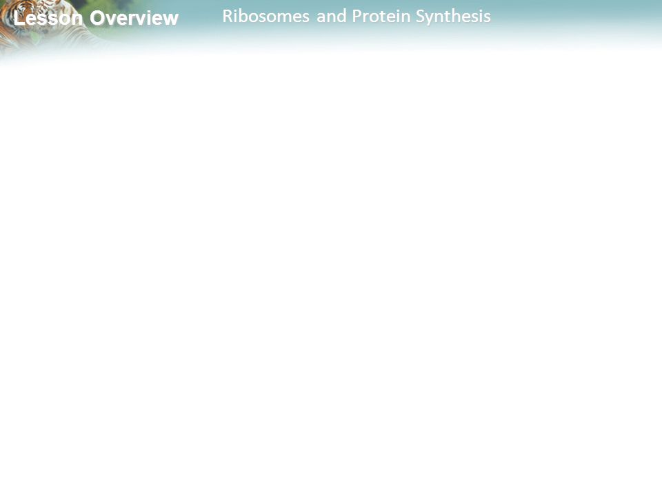Lesson Overview Lesson Overview Ribosomes and Protein Synthesis
