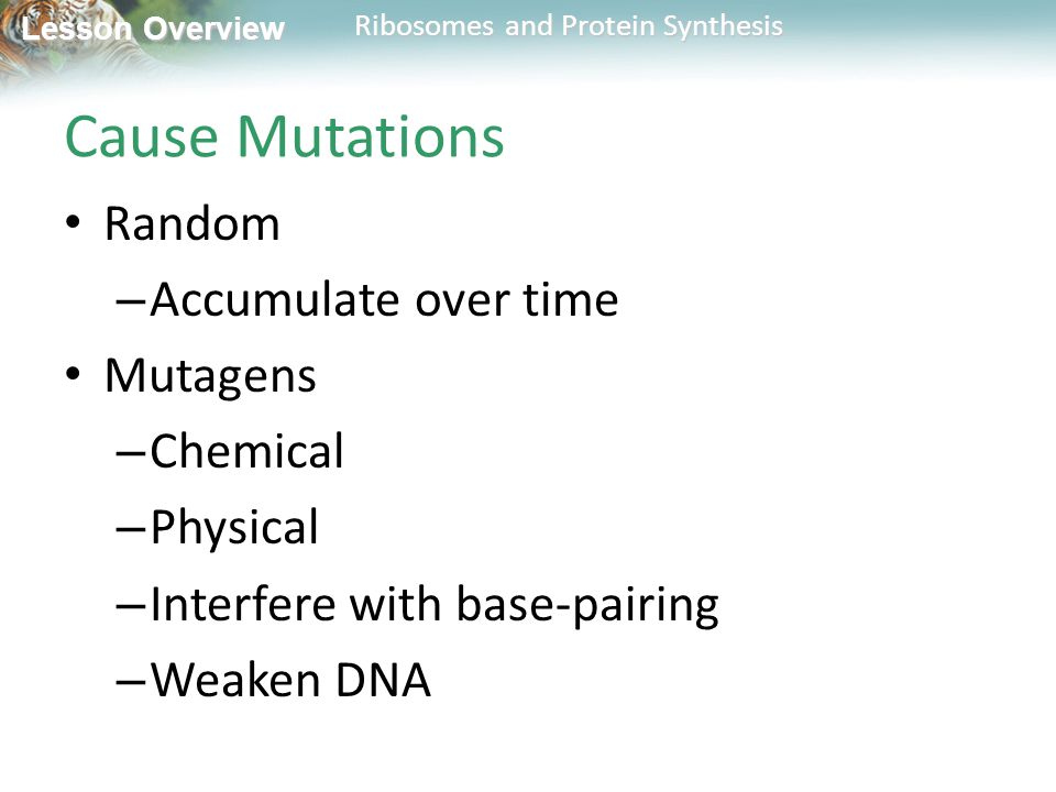Lesson Overview Lesson Overview Ribosomes and Protein Synthesis Cause Mutations Random – Accumulate over time Mutagens – Chemical – Physical – Interfere with base-pairing – Weaken DNA