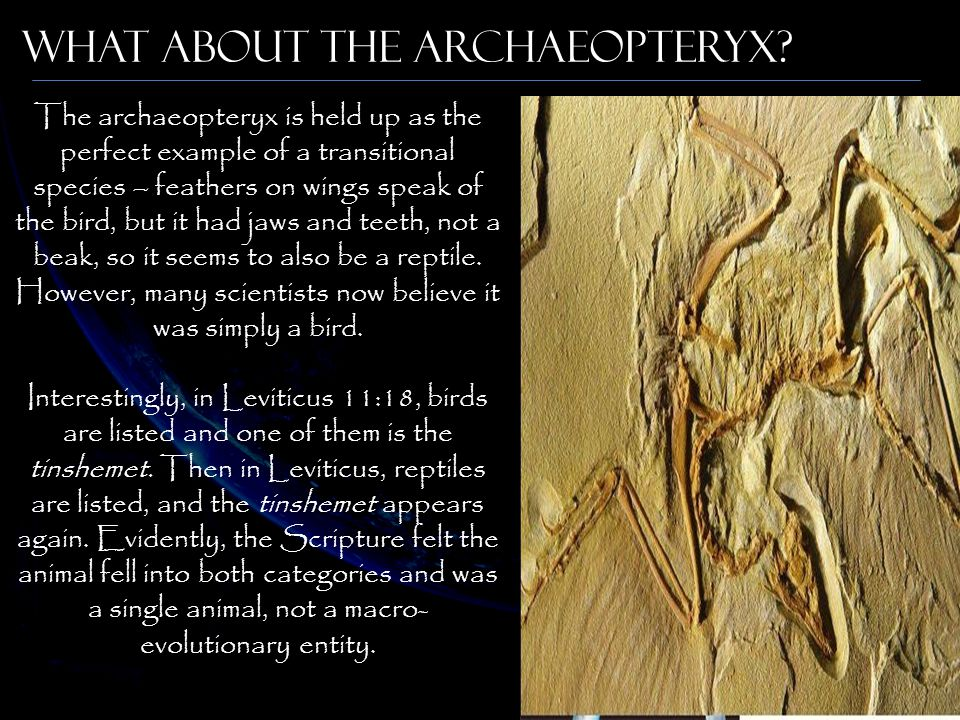 What about the Archaeopteryx? The archaeopteryx is held up as the perfect example of a transitional species – feathers on wings speak of the bird, but