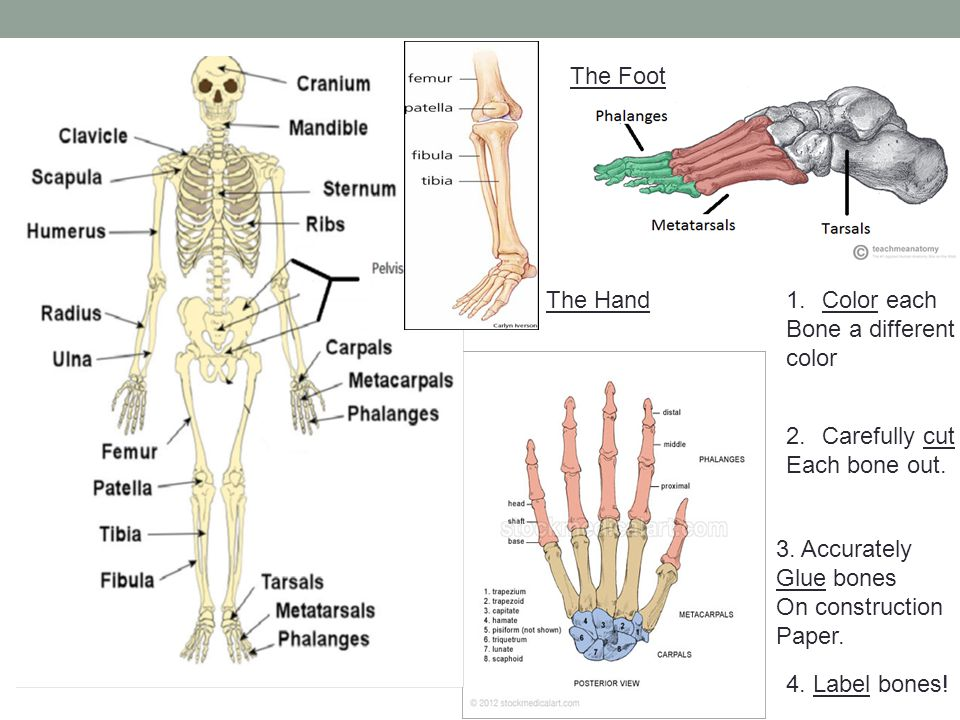 1.Color each Bone a different color 2.Carefully cut Each bone out. 3. Accurately Glue bones On construction Paper. The Foot The Hand 4. Label bones!