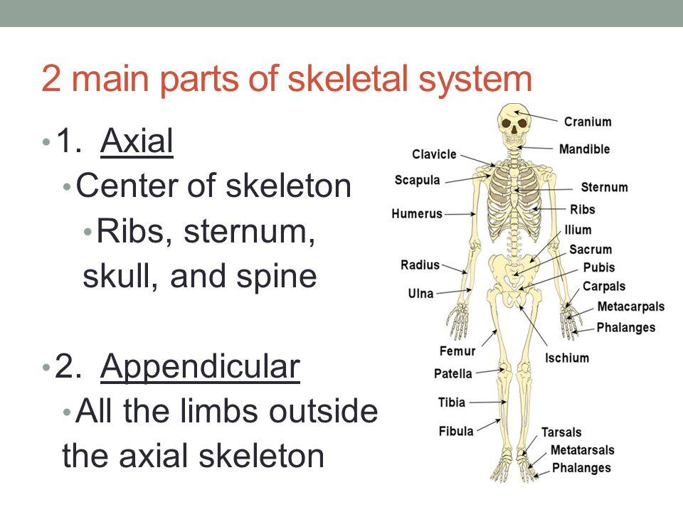 4 Types of Bones 1.Long Bones Humerus, Femur (arm and leg bones) 2.
