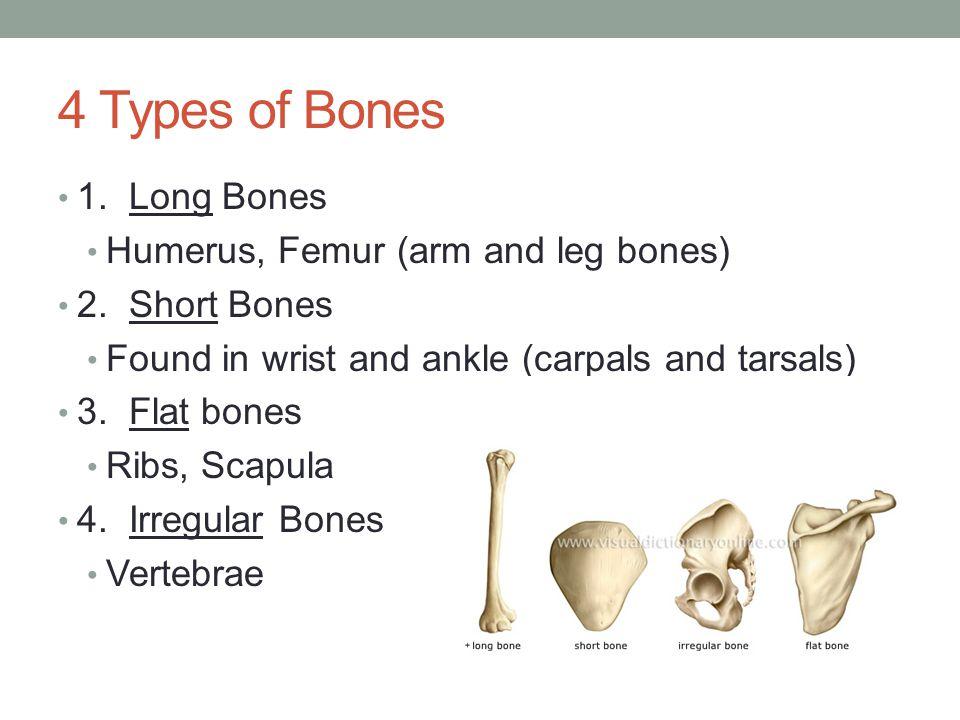 4 Types of Bones 1. Long Bones Humerus, Femur (arm and leg bones) 2. Short Bones Found in wrist and ankle (carpals and tarsals) 3. Flat bones Ribs, Sc