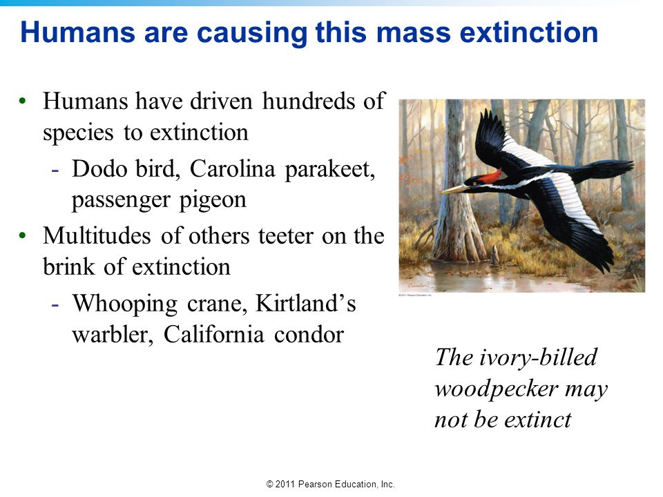 © 2011 Pearson Education, Inc. Humans are causing this mass extinction Humans have driven hundreds of species to extinction -Dodo bird, Carolina parak