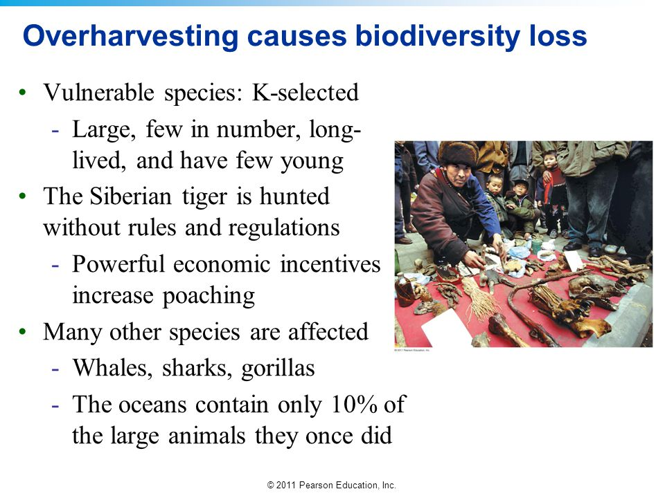 © 2011 Pearson Education, Inc. Overharvesting causes biodiversity loss Vulnerable species: K-selected -Large, few in number, long- lived, and have few