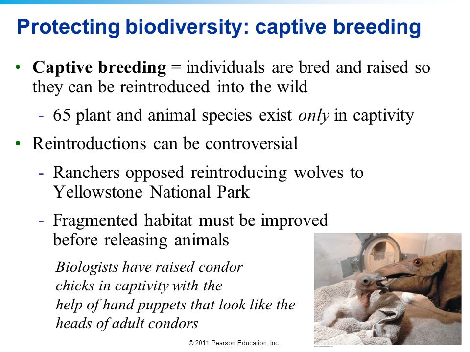 © 2011 Pearson Education, Inc. Protecting biodiversity: captive breeding Captive breeding = individuals are bred and raised so they can be reintroduce