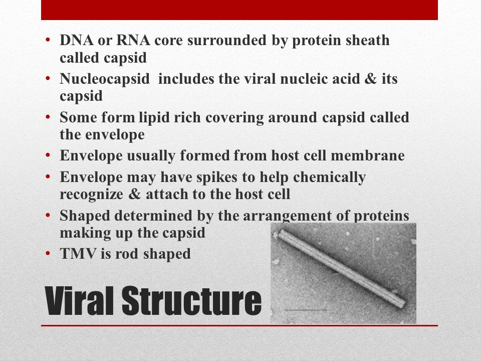 Viral Structure DNA or RNA core surrounded by protein sheath called capsid Nucleocapsid includes the viral nucleic acid & its capsid Some form lipid rich covering around capsid called the envelope Envelope usually formed from host cell membrane Envelope may have spikes to help chemically recognize & attach to the host cell Shaped determined by the arrangement of proteins making up the capsid TMV is rod shaped