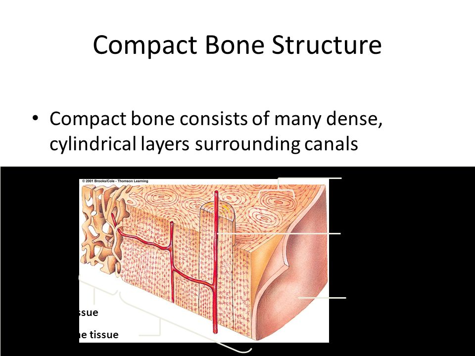 Compact Bone Structure Compact bone consists of many dense, cylindrical layers surrounding canals spongy bone tissue compact bone tissue outer layer o