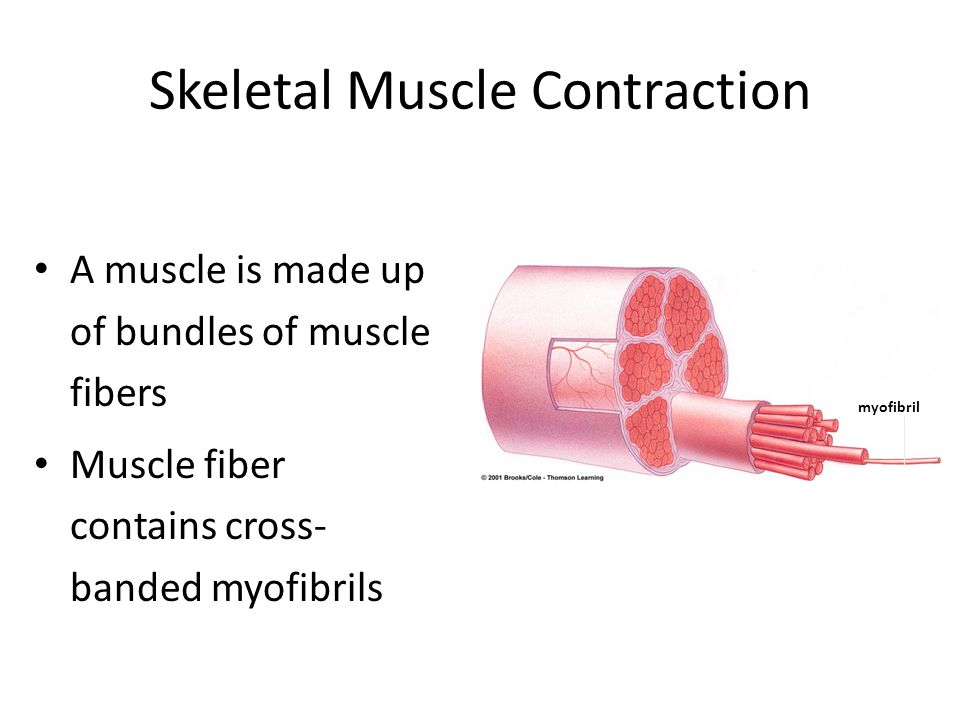 Skeletal Muscle Contraction A muscle is made up of bundles of muscle fibers Muscle fiber contains cross- banded myofibrils myofibril