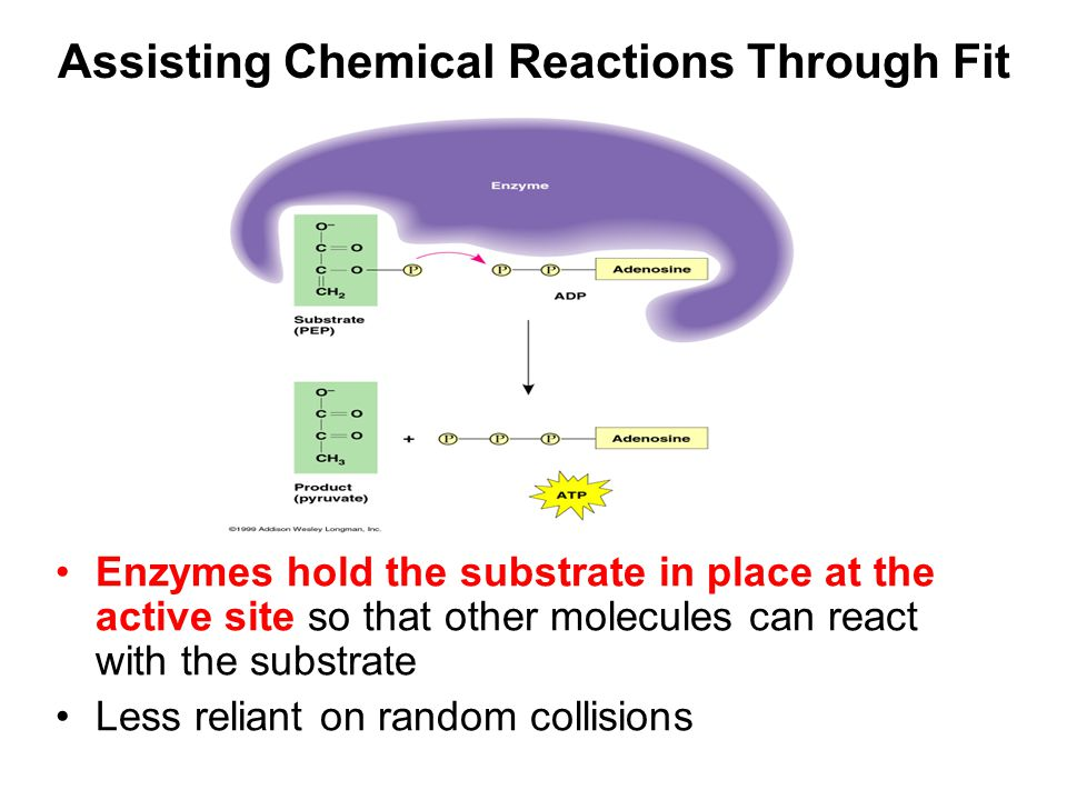 Assisting Chemical Reactions Through Fit Enzymes hold the substrate in place at the active site so that other molecules can react with the substrate Less reliant on random collisions