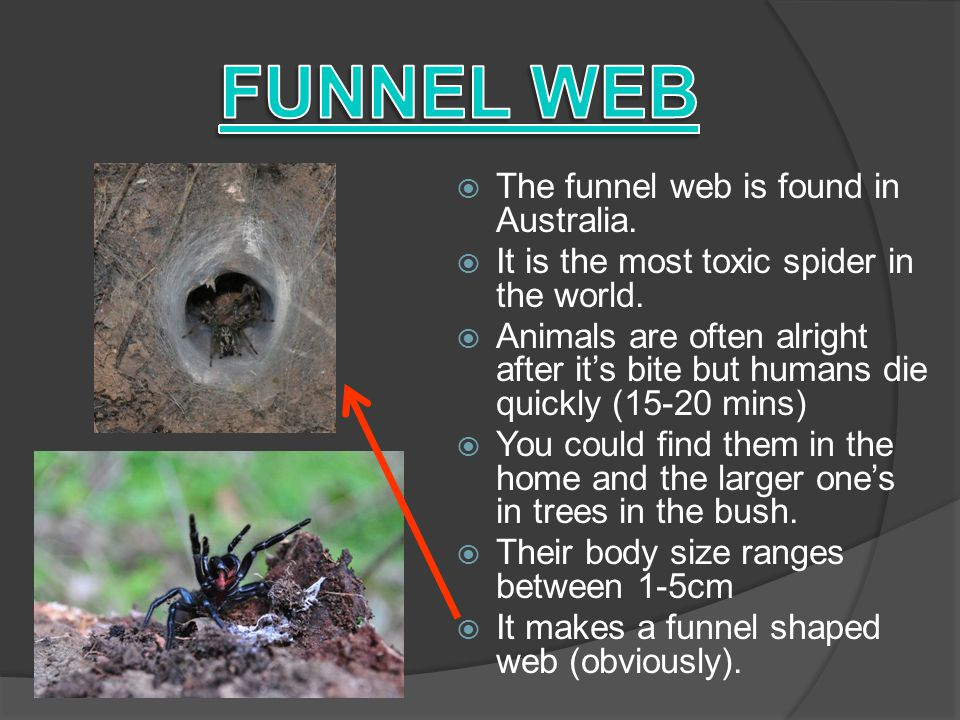  It is one of the 5 most poisonous spiders in the world.