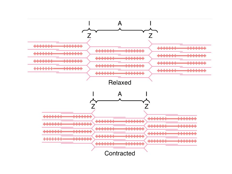 Sources of Energy for Muscle Contraction Energy is utilized during: Walk-along mechanism.